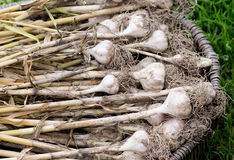 Garlic in basket on grass. Nature, food Royalty Free Stock Photo