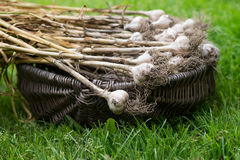 Garlic in basket on grass. Nature, food Stock Image