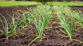 Garlic bed, even rows in the garden