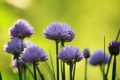 Garlic blooming (eco-friendly garden) Royalty Free Stock Images