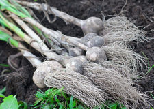 Garlic bulbs Stock Photography