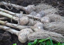 Garlic bulbs Royalty Free Stock Photo
