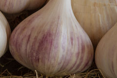 Garlic Bulbs Allium. Garlic bulbs, the pleasures of your own vegetable garden, simple ingredient to enhance the taste of any healthy meal, powerful antioxidant Stock Photos