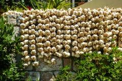 Garlic Bulbs (Allium sativum) Stock Images