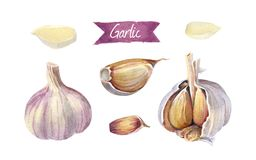Garlic bulbs and cloves isolated on white watercolor illustration. Watercolor illustration garlic heads and cloves peeled and whole isolated on white background Stock Photos