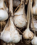 Garlic bulbs drying Stock Photos