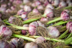 Garlic bulbs. With green stem Royalty Free Stock Photos