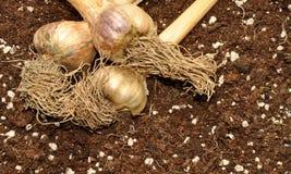 Garlic Bulbs And Soil Stock Photo
