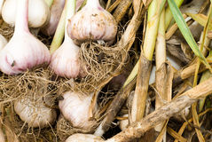 Garlic Bulbs and Stalks. Garlic bulbs with wiry roots arranged with stalks to the right stock images