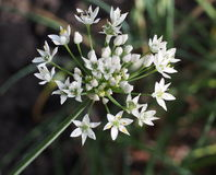 Garlic Chive Flower Head Stock Images