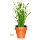 Garlic Chives, clay flower pot. Garlic Chives in clay flower pot. Aromatic herb with white flowers, slender, flavorful leaves, mild onion garlic flavor. Also Stock Photography