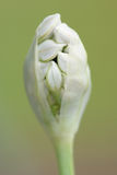 Garlic chives flower. Close up of the garlic chive flower bud about to open Stock Photo