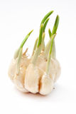 Garlic clove Royalty Free Stock Photo