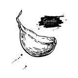 Garlic clove hand drawn vector illustration. Isolated Vegetable Royalty Free Stock Image