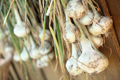 Garlic cloves. Hanging to dry Royalty Free Stock Photos
