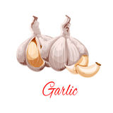 Garlic cloves and heads vector icon Royalty Free Stock Photos