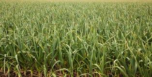 Garlic crop Royalty Free Stock Image