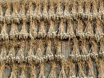 Garlic crops drying Stock Photography
