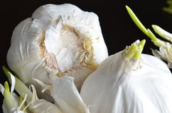 Garlic on a dark background. Sprouting garlic on a dark background Royalty Free Stock Images