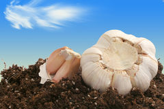 Garlic on dirt Stock Images