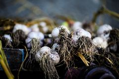 Garlic, dried in the sun, recently dug out of the ground royalty free stock image