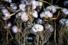 Garlic, dried in the sun, recently dug out of the ground. Aromatic, background, bulb, clove, condiment, cooking, eating, food, fresh, gourmet, green, group royalty free stock photography