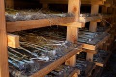 Garlic in drying room Stock Image