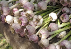Garlic at Farmers Market Stock Photos