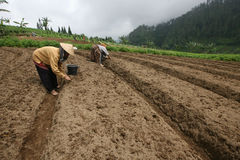 Garlic. Farmers are planting garlic in Karanganyar, Central Java, Indonesia Royalty Free Stock Images