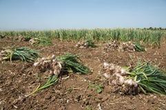 Garlic field Stock Photos