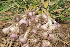 Garlic field Stock Photo