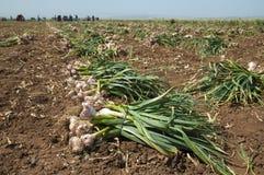 Garlic field Royalty Free Stock Photo