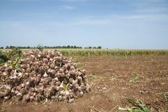 Garlic field Stock Image