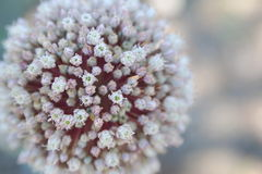 Garlic Flower. When looking close to a garlic flower we can see it consists of dozens of very small flowers Royalty Free Stock Photography