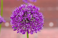 Garlic flower. On blur background stock image