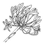 Garlic flower buds. Hand drawn sketch of garlic in vector format Stock Photo