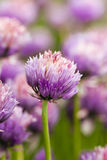 Garlic flower Royalty Free Stock Photo