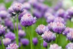 Garlic flower Stock Photo