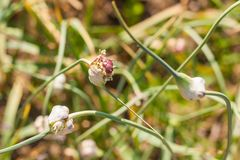 Garlic flowering in a home garden. Garlic Allium sativum is a species in the onion genus, Allium. Garlic is native to Central Asia and northeastern Iran, and has stock photo
