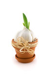 Garlic in  flowerpot with green sprout Royalty Free Stock Image