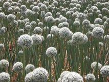 Garlic flowers royalty free stock photo