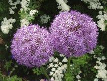 Garlic flowers. Garlic plant flowers stock photos