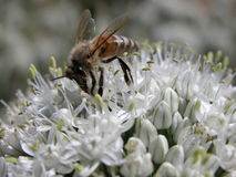 Garlic flowers and bee Royalty Free Stock Photo