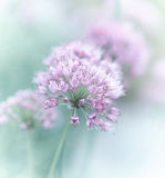 Garlic Flowers stock image