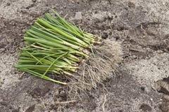 Garlic French (Allium porrum) Royalty Free Stock Images
