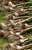 Garlic. Fresh garlic dug up from the soil Stock Photos