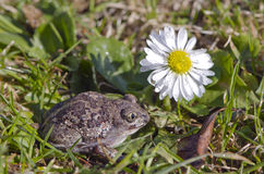 Garlic frog (Pelobates fuscus) toad on spring grass and flower Royalty Free Stock Photography