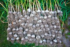 Garlic. Garden summer food vegetable Royalty Free Stock Photo