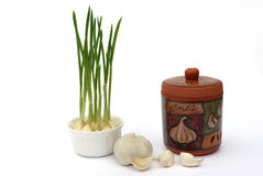Garlic and garlic keeper. Garlic sprouts and garlic keeper isolated on white royalty free stock photography
