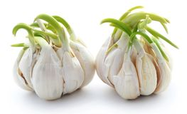 Garlic germinated Royalty Free Stock Images